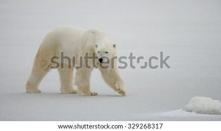A polar bear on the tundra. Snow. Canada. An excellent illustration. - stock photo