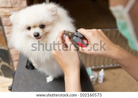 a pomeranian after shower with cut nail - stock photo