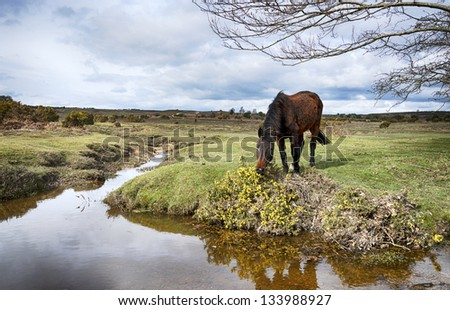 A pony grazing on gorse at Dockens Water in the New Forest National Park in Hampshire - stock photo