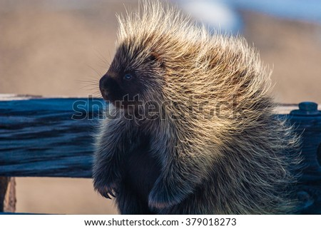 A porcupine in Alaska rests on its laurels in the sun - stock photo