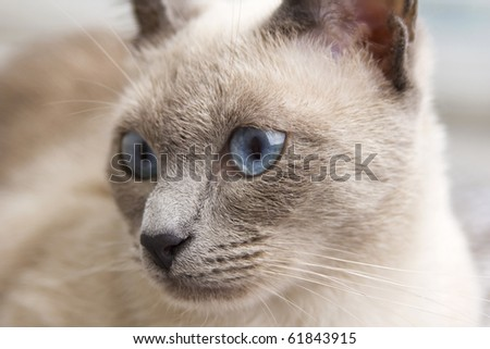 A portrait close up of a beautiful bluepoint siamese cat's face as she loooks slightly to the side. - stock photo