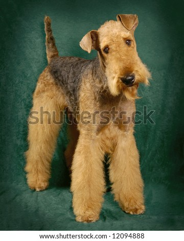 A portrait of a Airedale Terrier - stock photo