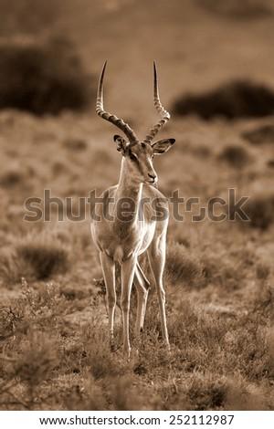 A portrait of a beautiful male impala ram. - stock photo