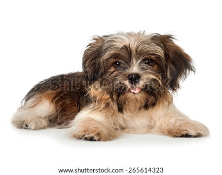A portrait of a beautiful smiling dark chocolate havanese puppy dog is laying, isolated on white background - stock photo