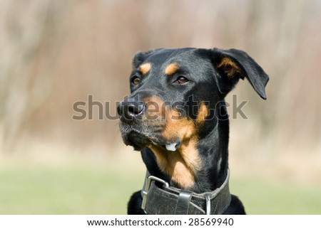a portrait of a black doberman looking advertant on something distant - stock photo