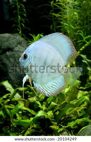 A portrait of a Blue Diamond Discus Fish- Symphysodon Aequifasciatus in a planted tropical freshwater aquarium - stock photo