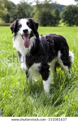 A portrait of a Border Collie in the green nature - stock photo