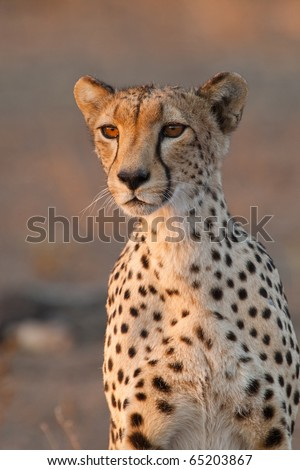 A portrait of a cheetah mother - stock photo