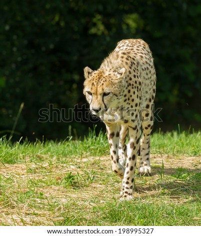 A Portrait of a cheetah patrolling - stock photo