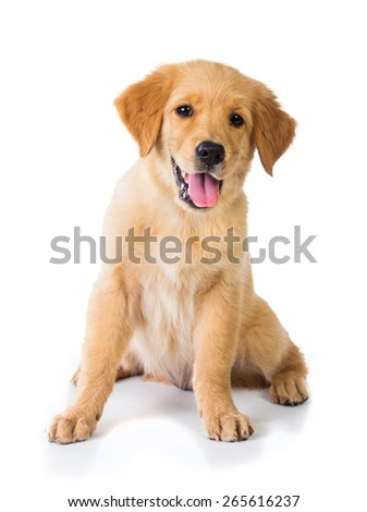 A portrait of a Golden Retriever dog sitting on the floor, isolated on white background - stock photo