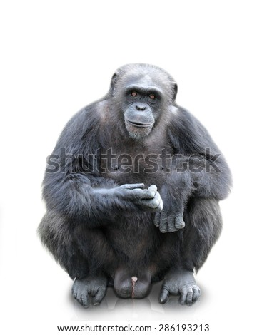 A portrait of a gorilla sitting on white background, isolated - stock photo