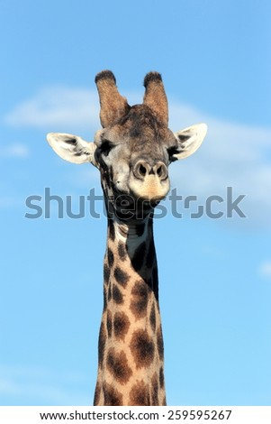 A portrait of a huge male giraffe neck and face. - stock photo