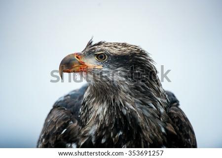 A portrait of a juvenile Bald Eagle (Haliaeetus leucocephalus) close up portrait - stock photo