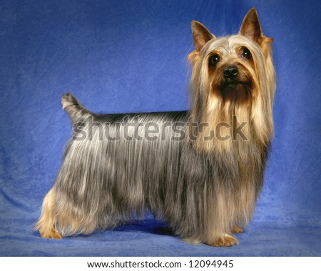 A portrait of a male Silky Terrier - stock photo