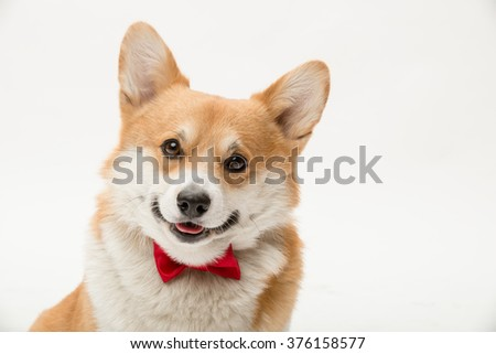 A portrait of a pembroke welsh corgi with a red bow tie looking at the camera smiling - stock photo