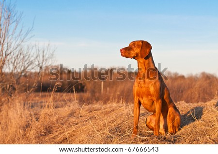 A portrait of a sitting Vizsla dog in a field the spring. - stock photo