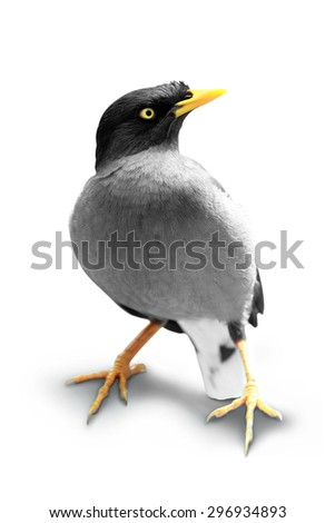 A portrait of a Starling isolated on a white background - stock photo
