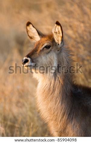 A portrait of a waterbuck calf in golden light - stock photo