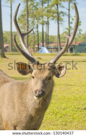 A portrait of a wild  deer. - stock photo