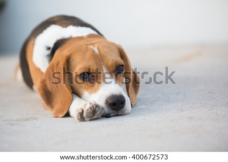 A Portrait of an Adorable Beagle Dog - stock photo