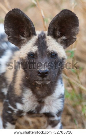 A portrait of an african wild dog pup taken in Botswana - stock photo