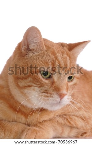 A Portrait of an Fluffy, Orange Tabby Cat Looking Away with Room for Text Overhead - stock photo