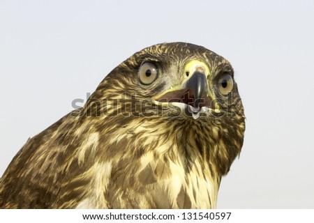 a portrait of an immature common buzzard - close-up / Buteo buteo - stock photo