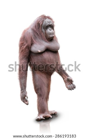 A portrait of an Orang Utan standing on white background - stock photo