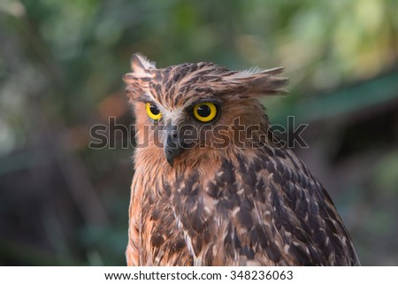a portrait of brown fish owl  - stock photo