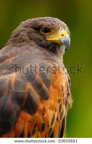 A portrait of Harris hawk (Parabuteo unicinctus), a raptor that hunts in social cooperative groups - stock photo