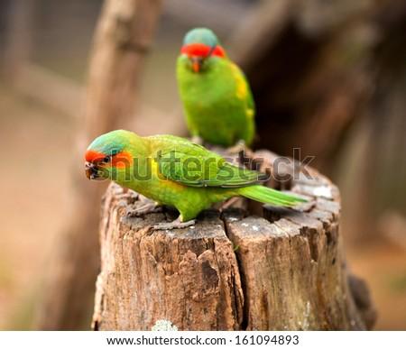A portrait photo of a swift parrot. - stock photo