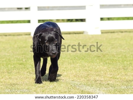 A portrait view of a young beautiful black labrador retriever puppy dog walking happily on the grass. Labs are very friendly, kind and pleasant and often used as guide dogs for the blind - stock photo