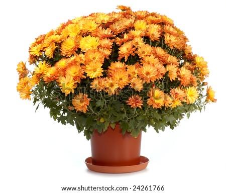 A pot of beautiful orange autumn chrysanthemums isolated on white background - stock photo