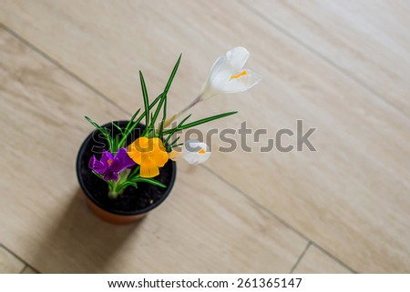 a pot of color crocus on the floor - stock photo