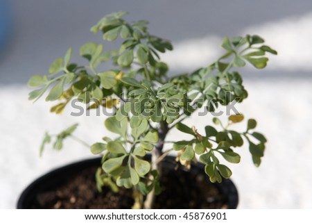 A pot of rue in the garden - stock photo