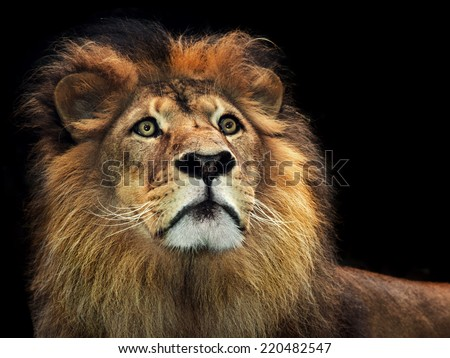 A powerful portrait of a male maned alpha lion - stock photo