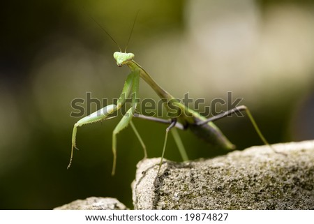 A praying mantis standing on a rock. - stock photo