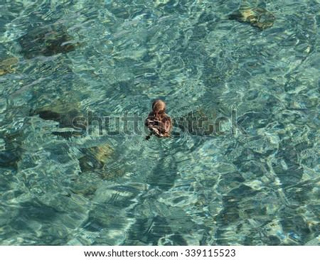 A preening female mallard (Anas platyrhynchos) creates circular ripples in the turquoise waters of Lake Tahoe. - stock photo