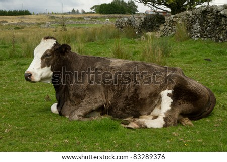 A pregnant brown and white patched cow lays on a patch of green grass. - stock photo