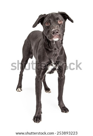 A pretty adult black Labrador Retriever mixed breed dog standing facing and looking at the camera - stock photo