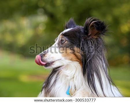 a pretty australian shepherd dog profile in the park on a warm sunny day during summer time  - stock photo