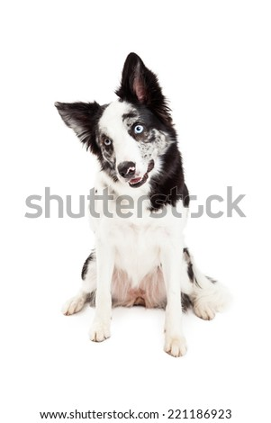 A pretty Border Collie dog with spotted markings on her fur sitting and tilting her head - stock photo