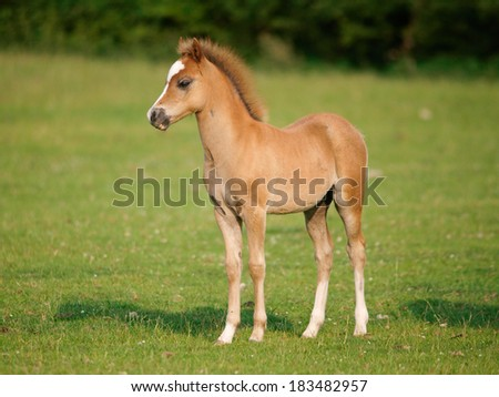 A pretty foal stands in a Summer paddock. - stock photo