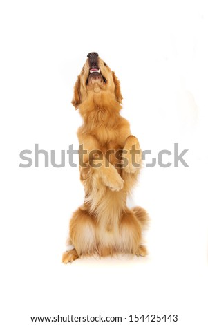 A pretty golden retriever dog sititing up tall begging for a treat - stock photo