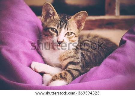 A pretty kitty cat lay down and relaxing on purple pillow in vintage tone. Image use for valentine, birthday or lovely gift. - stock photo