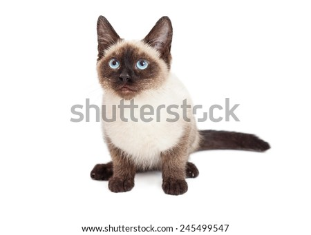 A pretty Siamese breed kitten sitting down on a white background and looking forward - stock photo