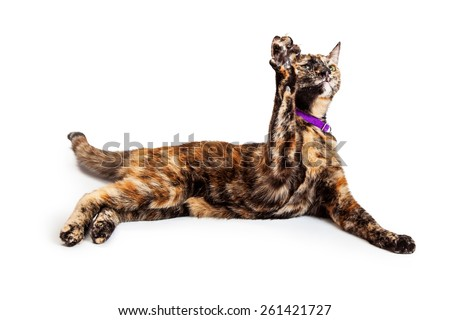 A pretty young Bengal breed cat laying and raising a paw straight up in the air - stock photo