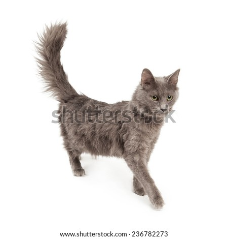 A pretty young gray color kitten walking to the side - stock photo