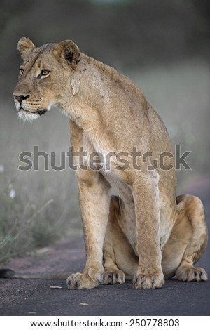 A pride Lioness listens carefully to the far off roars of the returning pride - stock photo