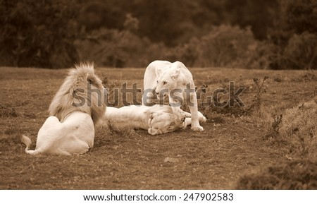 A pride of rare white wild lions in this image - stock photo